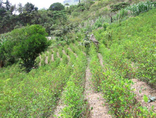 Plantaciones de coca ilegal se incrementan en varias regiones del país.