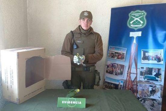 Un efectivo de Carabineros muestra los loros incautados en Colchane, Chile.