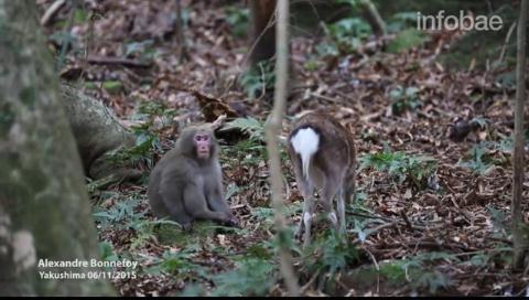 Un mono intentó tener sexo con un ciervo y científicos japoneses investigaron por qué