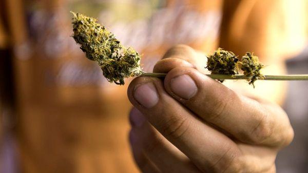 Uruguay sancionará a quienes ofrezcan cata de marihuana (AP)