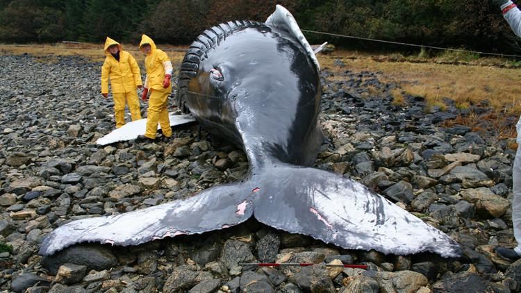 La NASA se sumerge en el enigma de las muertes masivas de ballenas