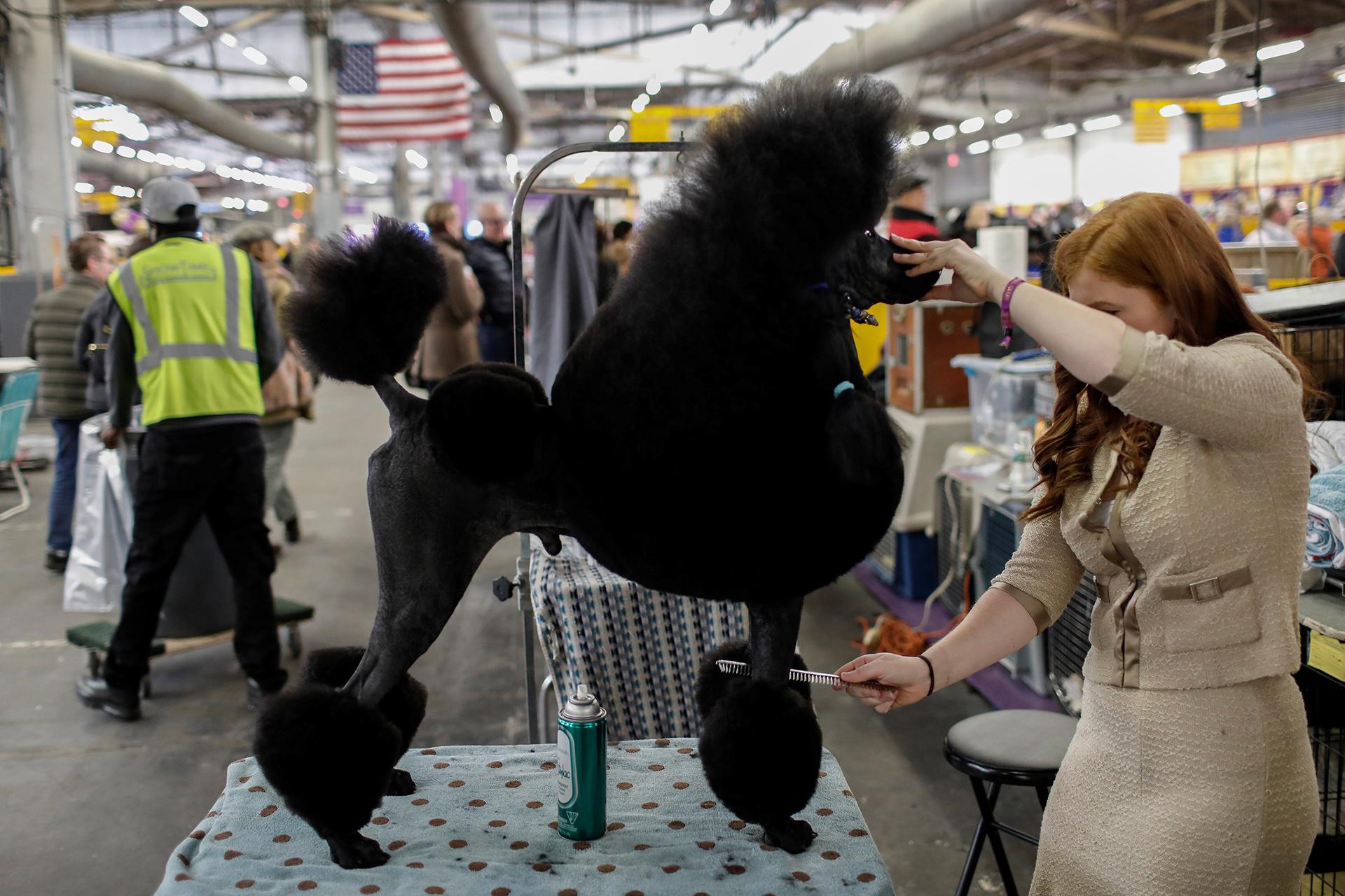Un Poodle durante las estrictas sesiones de peinado previas a la competencia