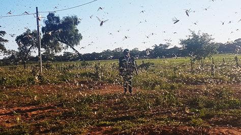Funcionario de Senasag revisa un campo afectado por la plaga de langostas.