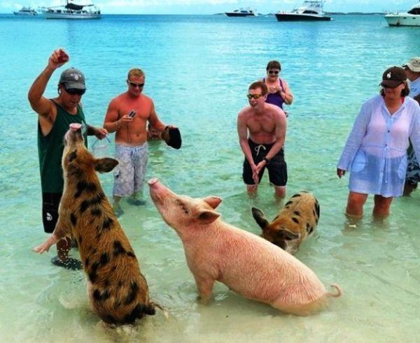 El gobierno ha prohibido que se alimente a los porcinos