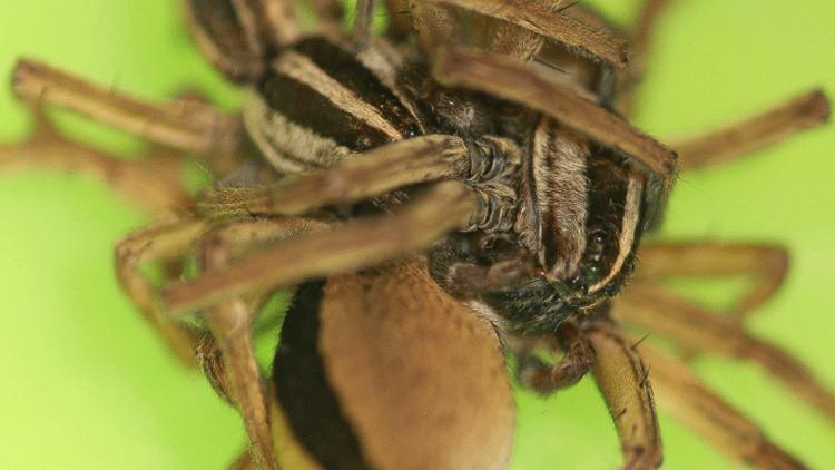 Estas arañas hacen 'ménage a trois' durante 4 horas para salvar la vida (FOTO)