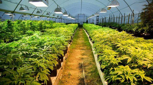 Uruguay aprobó en 2013 una ley que permite la producción de marihuana por privados bajo control estatal, el cultivo hogareño para autoconsumo y la formación de clubes de siembra cooperativa (Ecos)