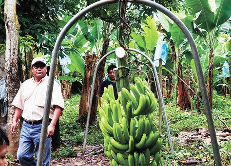 Una 'cabeza' de bananos cuelga del cable vía que se implementó en Villa El Porvenir. Foto: La Razón - archivo