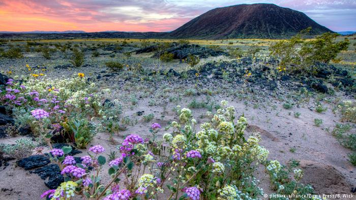 USA Kalifornien Blumen in Wüsten blühen auf