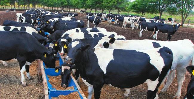 Resultado de imagen de ganado de leche de Beni y Santa Cruz en Trinidad