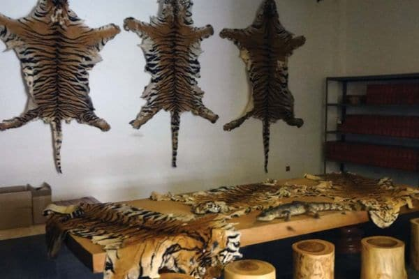 Pieles de tigre vendidas en la Zona Económica Especial del Triángulo Dorado en Laos