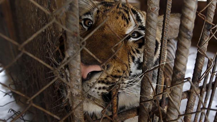 Carne de tigre y joyas con dientes de oso: el sucio negocio que florece en el sudeste asiático