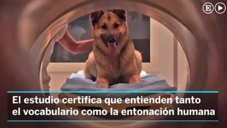 Fotografía de uno de los perros sometidos a escáner cerebral para el análisis del la teoría desarrollada por los expertos