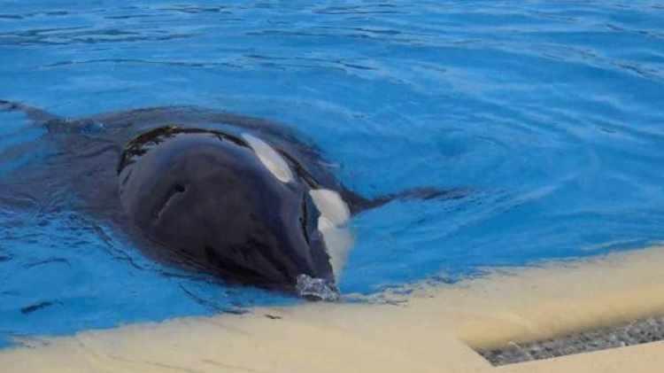 """En marzo de 2016 los parques temáticos anunciaron la cancelación de sus espectáculos con orcas para centrarse en la """"educación, investigación y rescate de estos animales marinos"""""""