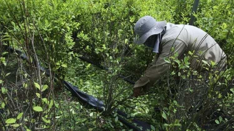 Los cultivos de coca se multiplicaron en Catatumbo en los últimos años