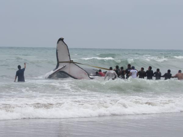 Voluntarios intentan salvar a una ballena que amaneció cerca de la orilla de Punta Carnero