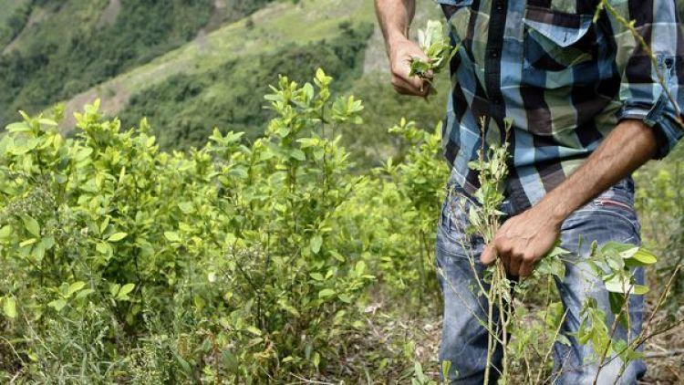 Un campesino en un cultivo de coca en Colombia.