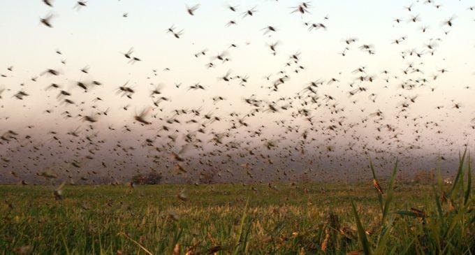 Alerta máxima ante posible invasión de langostas al Chaco