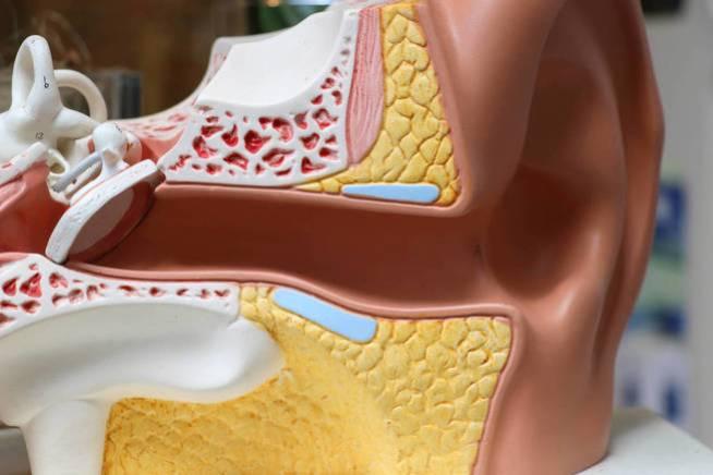 Estructura del oído interno. (iStock)