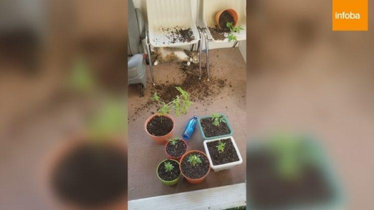 El gato destruyó y comió parte de las plantas de marihuana