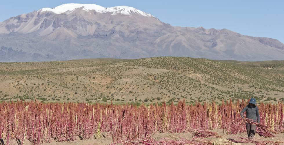 Campos de quinoa en Bolivia.