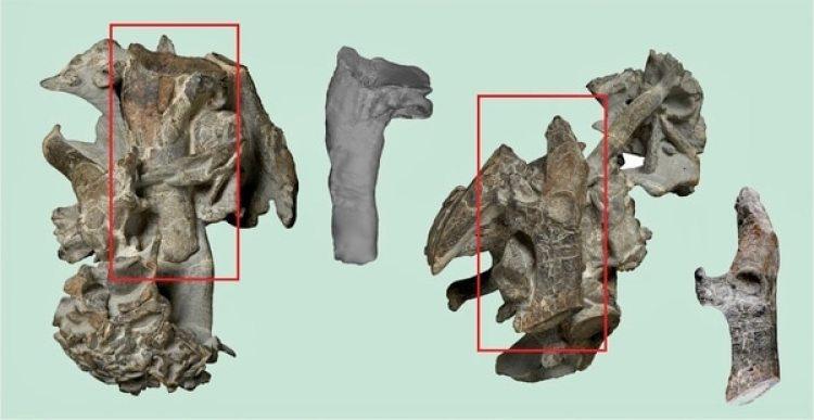 Los rectángulos del fósil Kumimanu biceae resaltan el húmero y un hueso coracoides que se muestran separados del conjunto original. Crédito: G. Mayr/Senckenberg Research Institute