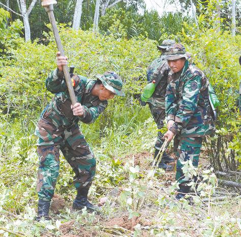 Labor.Un grupo de militares erradican coca en Yungas de La Paz.