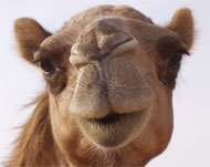 image for The Camel Did It: Khashoggi Murder Solved