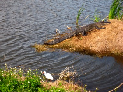 Obligatory gator picture. This one was about 100 yards from our office building.