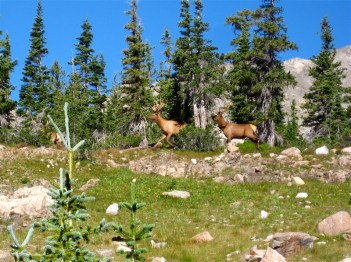 A trio of bull elk I startled on the St. Vrain Glacier Trail.