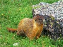 Obligatory Marmot