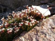 A nice patch of alpine prettyflowers.
