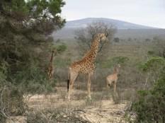 Giraffe mom and kids.