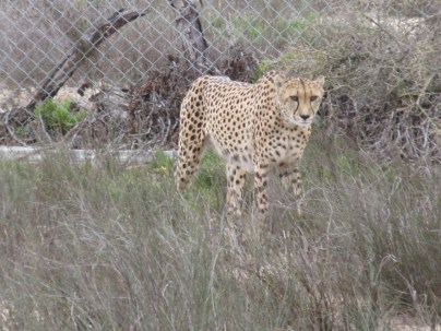 Cheetah #2.