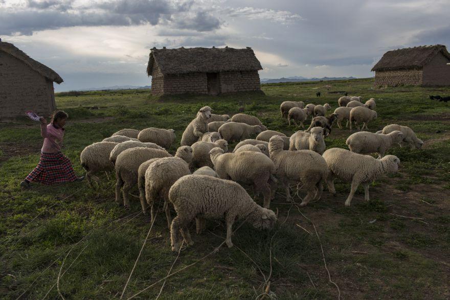 María Ávila mueve su rebaño de ovejas en Coata, un pequeño pueblo a orillas del lago Titicaca. Ávila, la madre de una niña de 4 años que vive en una casa de adobe, dice que no puede bañarse o beber el agua del lago sin tener diarrea severa o manchas rojas en su piel. (Foto: AP/Rodrigo Abd)