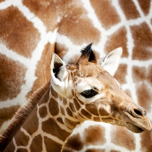 Giraffe's birth attracts 300,000 viewers on You Tube