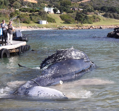 Photo Story: Humpback Whale killed by fishing lines