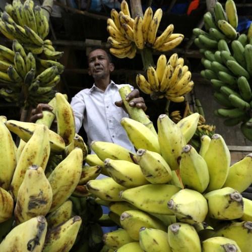 Banana under threat from dangerous fungus