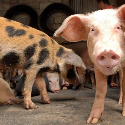 EU worried by spread of African swine fever in Bulgaria