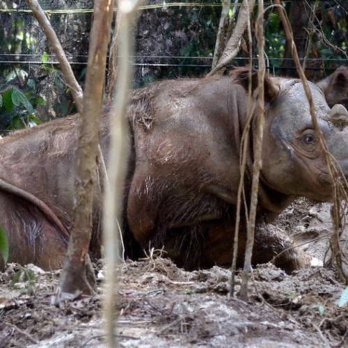 The last Sumatran rhino in Malaysia dies, less than 80 left in the world