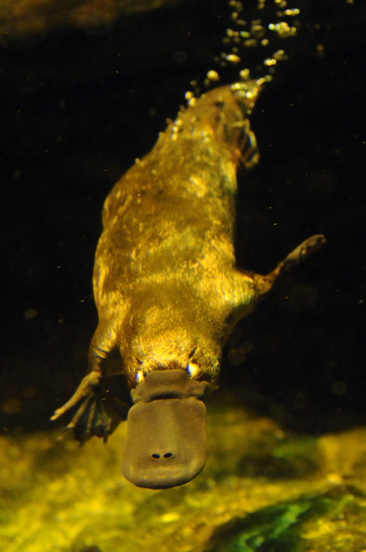 Scientists isolate, synthesize and test a number of platypus proteins leading to the discovery of new antimicrobial