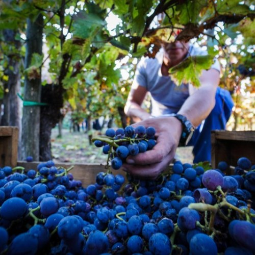 Extreme weather linked to 12% drop in wine output in Italy