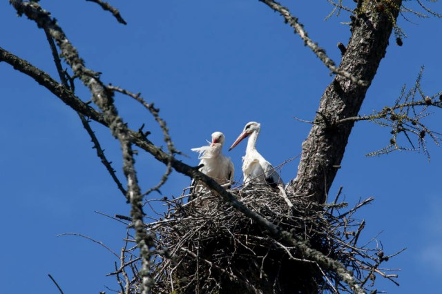 About 10,000 stork couple make their nests in Latvia each year