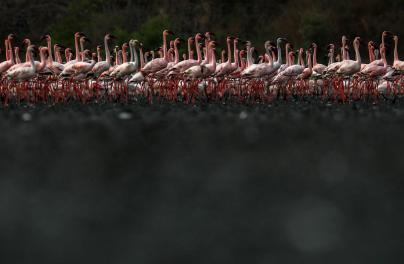 epa08428643 Colonies of flamingos crowd the muddy area in Navi Mumbai, India 17 May 2020. Migratory birds arrive in the winter season from different parts of India and neighboring countries and are usually leaving the region again in the spring months. EPA-EFE/DIVYAKANT SOLANKI
