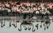 epa08428668 Colonies of flamingos crowd the muddy area in Navi Mumbai, India 17 May 2020. Migratory birds arrive in the winter season from different parts of India and neighboring countries and are usually leaving the region again in the spring months. EPA-EFE/DIVYAKANT SOLANKI