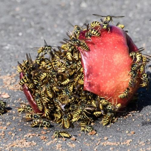 Wasps attack German school, injuring 16 children