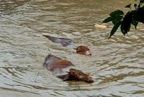epa08591201 A photo contributed by a reader shows cows struggling to swim through floodwater caused by heavy rain in the southwestern county of Gurye, South Korea, 08 August 2020. EPA-EFE/YONHAP SOUTH KOREA OUT EDITORIAL USE ONLY