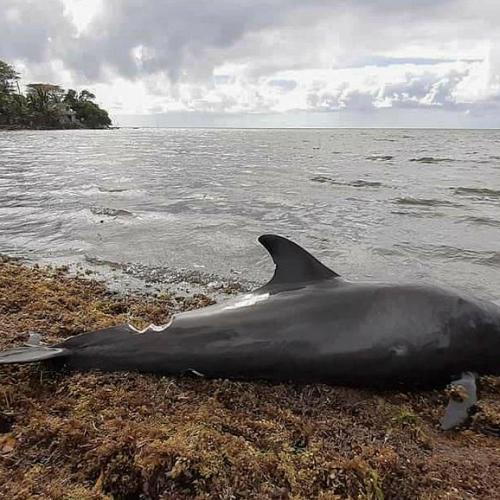 Dead dolphins wash up on Mauritius shore