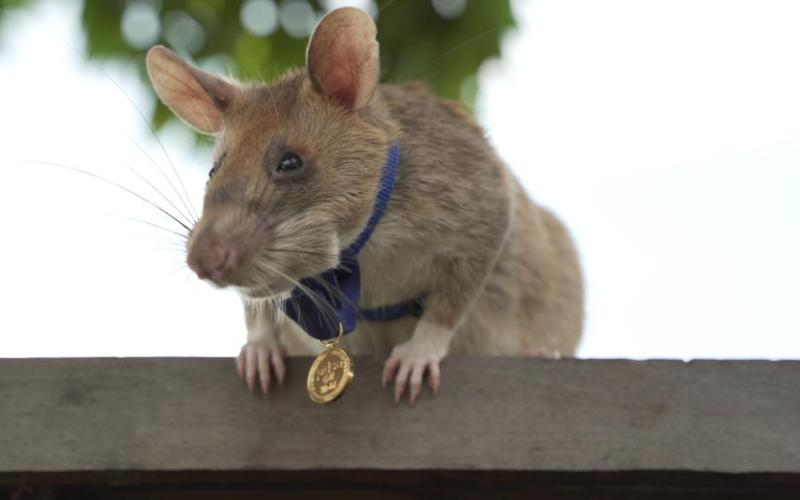Giant rat wins animal hero award for sniffing out landmines in Cambodia