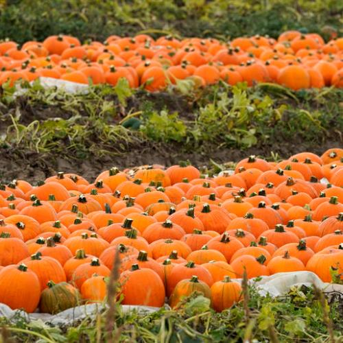 Photo Story: Pumpkin harvest in Germany