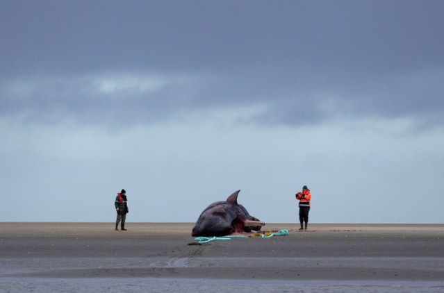 'Real and imminent' extinction risk to whales